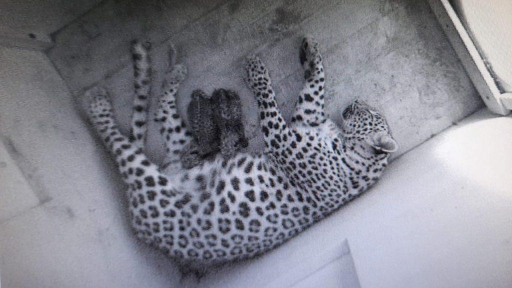 v_sochinskom_nacparke_rodilis'_dva_kotenka_leoparda