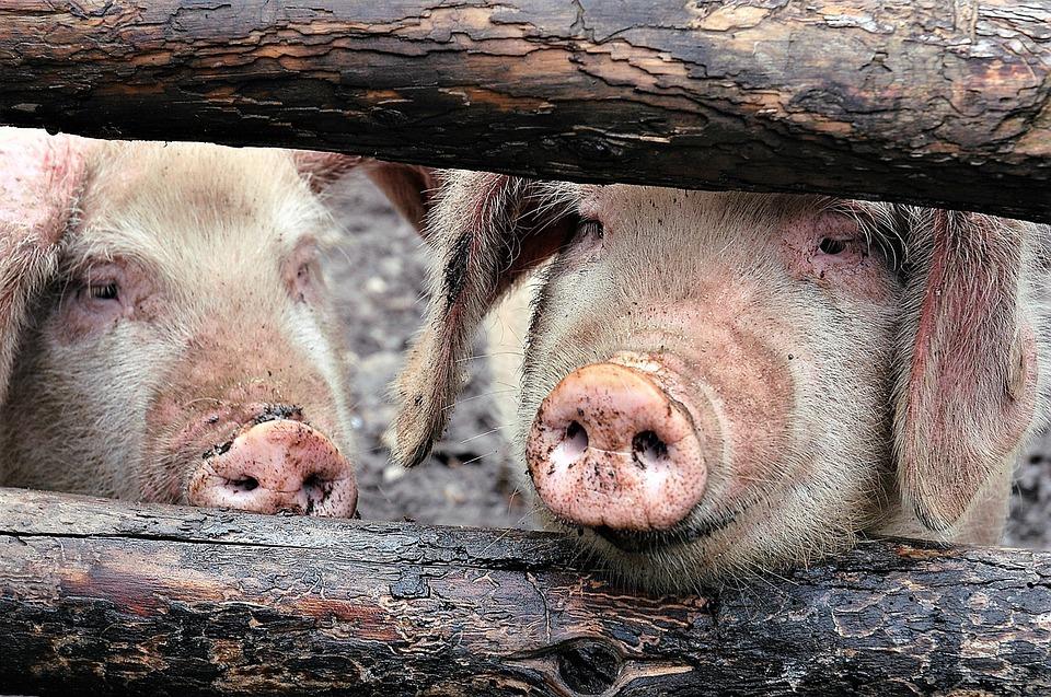 На Кубани обнаружен вирус африканской чумы свиней