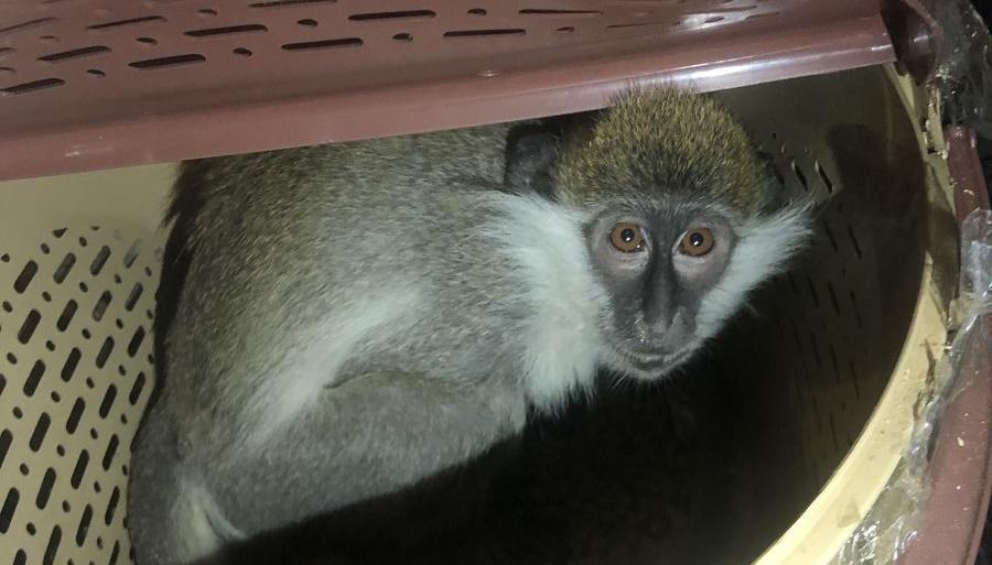 Контрабанду мартышек передали в зоопарк Краснодара