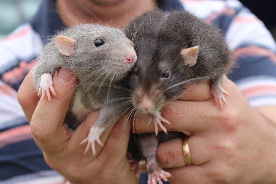 Российские ученые разработали метод диагностики рака с помощью крыс