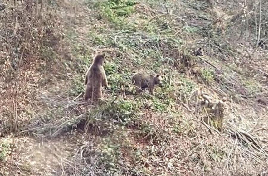 Туристы сняли на видео медведей, которые гуляют по Красной Поляне