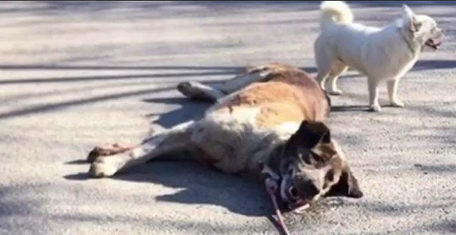 В Анапе живодер привязал к машине собаку и протащил ее по дороге
