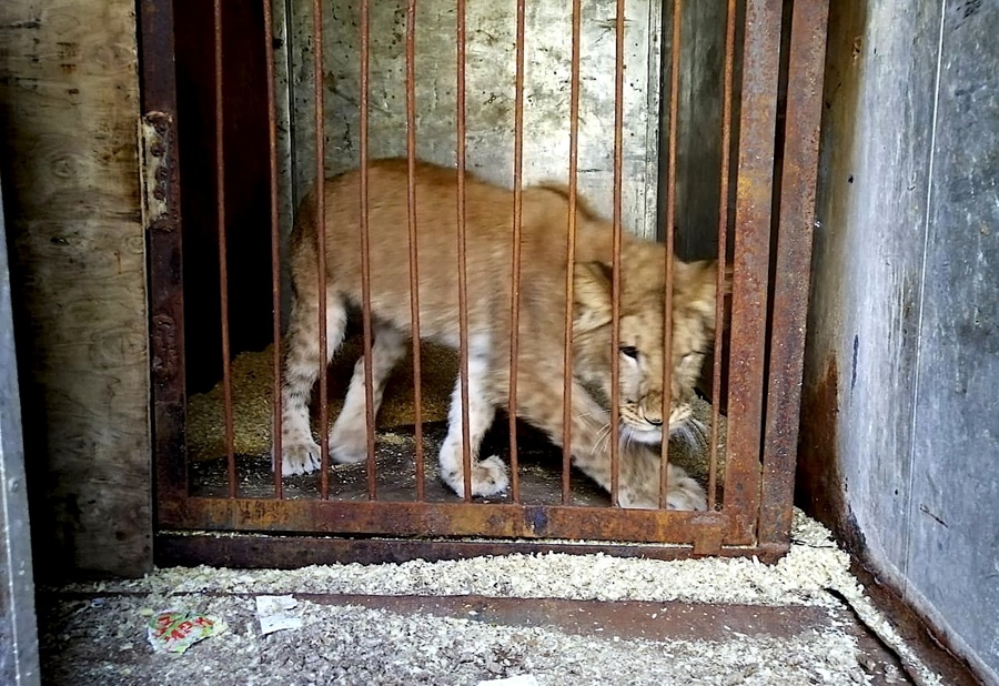 Зоозащитники собирают деньги на выкуп истощенной цирковой львицы из Сочи