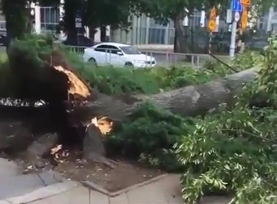 В центре Краснодара рухнуло дерево