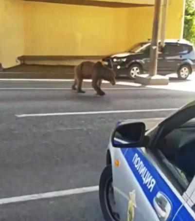В Сочи на пост ДПС пришел бурый медведь