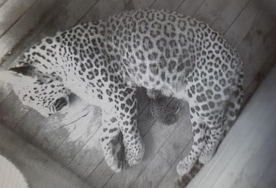 В Центре восстановления сочинского нацпарка родился котенок леопарда