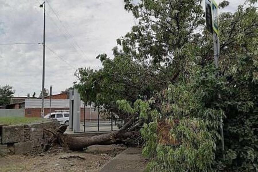 В Краснодаре рухнувшее дерево несколько дней перекрывало проход к остановке