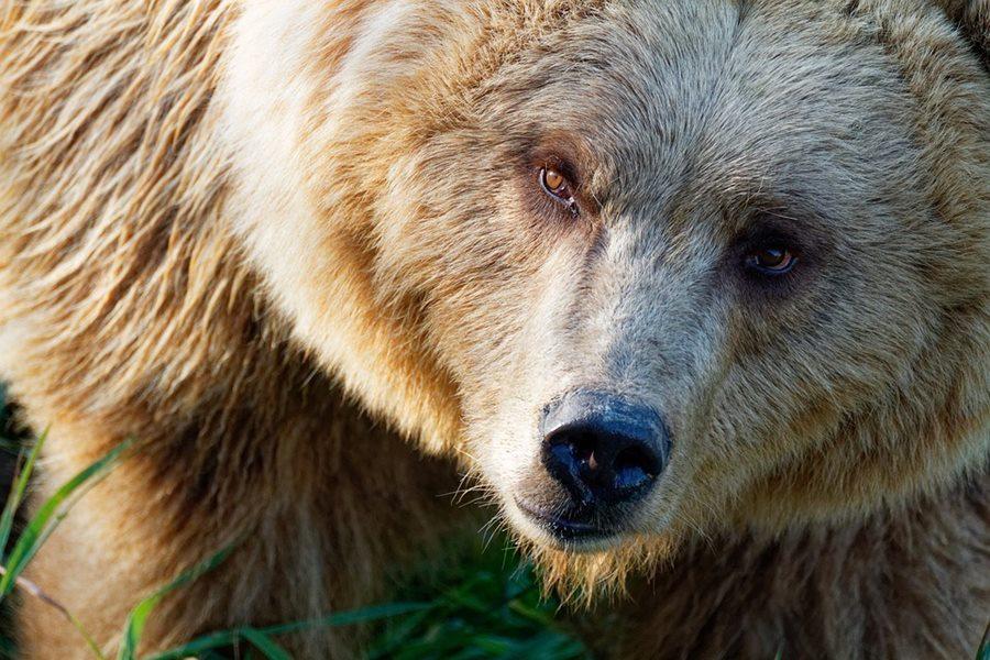 В Сочи медведи растерзали 11-летнего мальчика