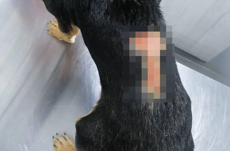 Крымские волонтеры рассказали о щенке, которому на спине выжгли рисунок гениталий