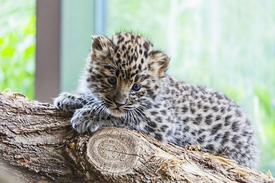 В Краснодаре мужчине дали 3,5 года тюрьмы за попытку вывоза из России детенышей тигра и леопарда