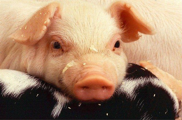 На Кубани выявлен случай африканской чумы свиней в районе Геленджика