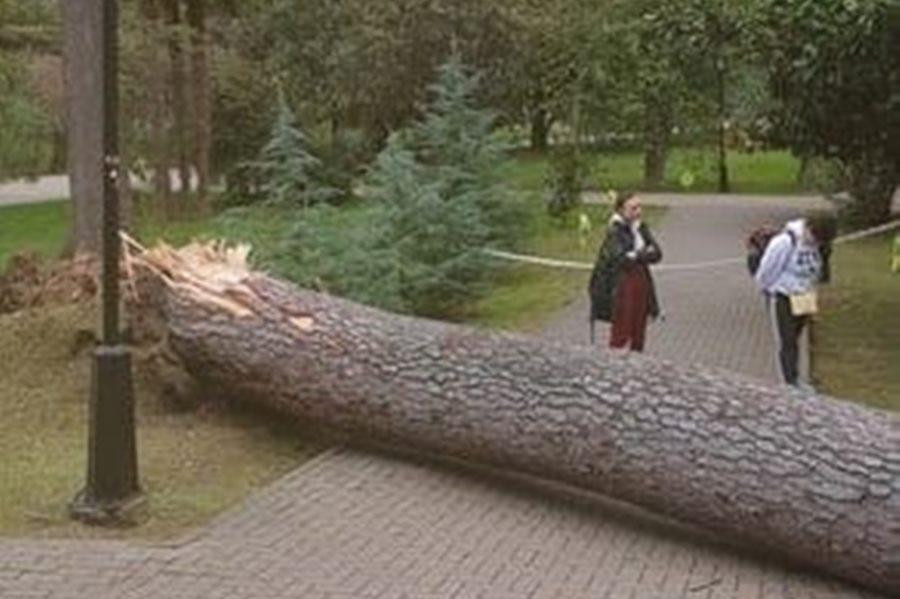 В сочинском парке отдыха «Ривьера» рухнул столетний кедр