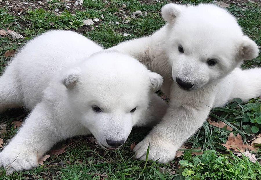 Белым медвежатам из «Сафари-Парка» в Геленджике просят придумать имена