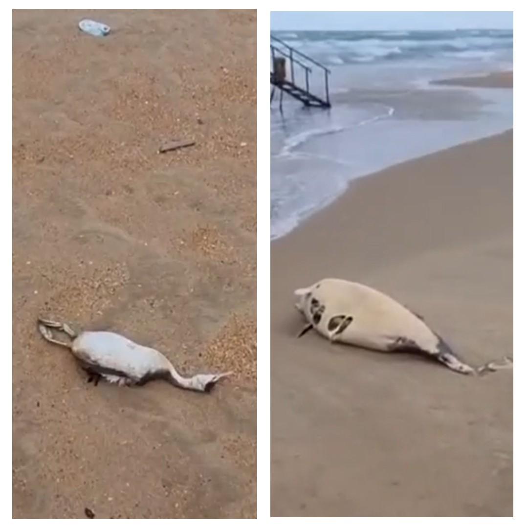 На пляже Анапы обнаружен мертвый дельфин и десятки трупов птиц