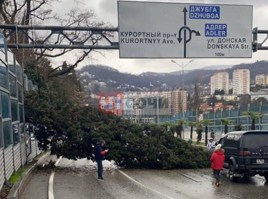 В центре Сочи на дорогу рухнул огромный кипарис