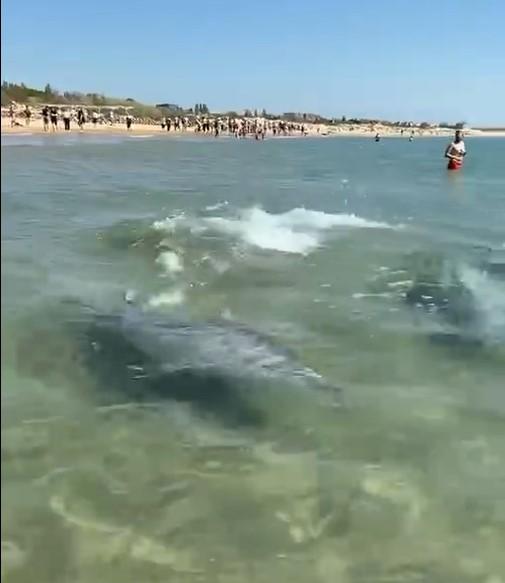 В Анапе дельфины максимально близко подплыли к людям и попали на видео
