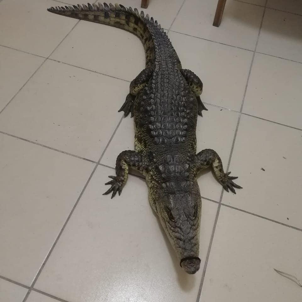 Крокодила, изъятого у фотоживодера в Анапе, передали в зоопарк