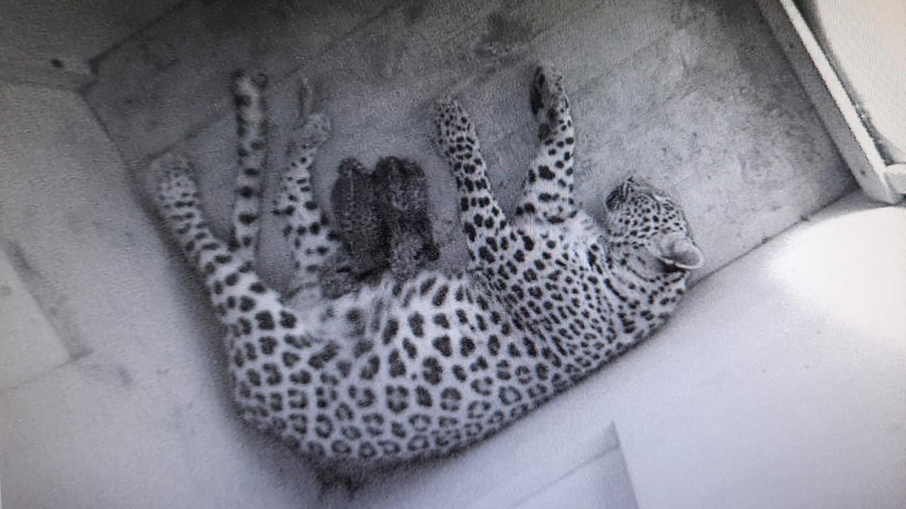 В Сочинском нацпарке родились два котенка леопарда