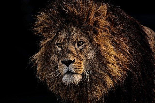 На Кубани после нападения льва на девочку возбуждено уголовное дело