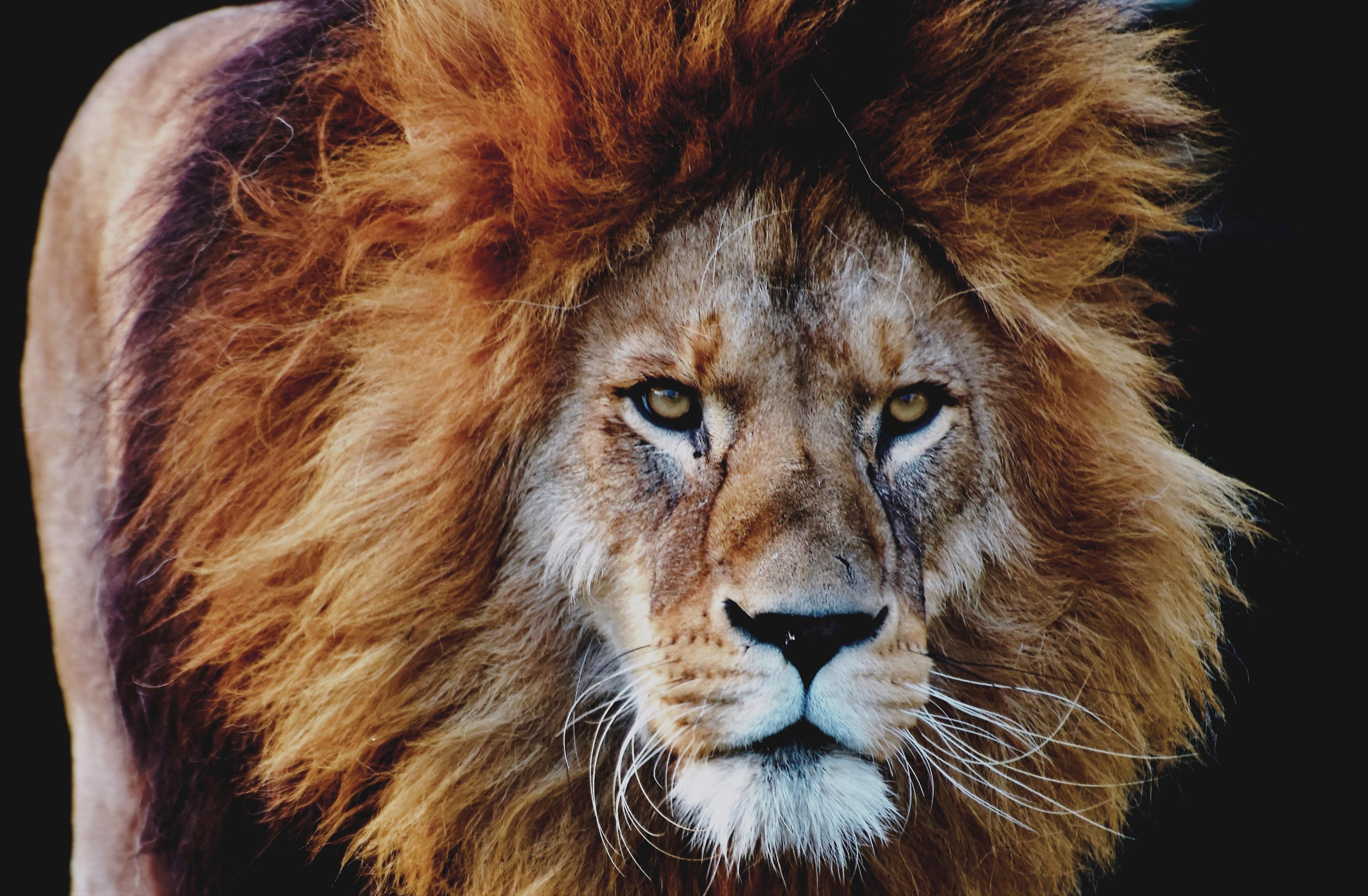 СК организовал проверку по факту нападения льва на ребенка в Успенском районе