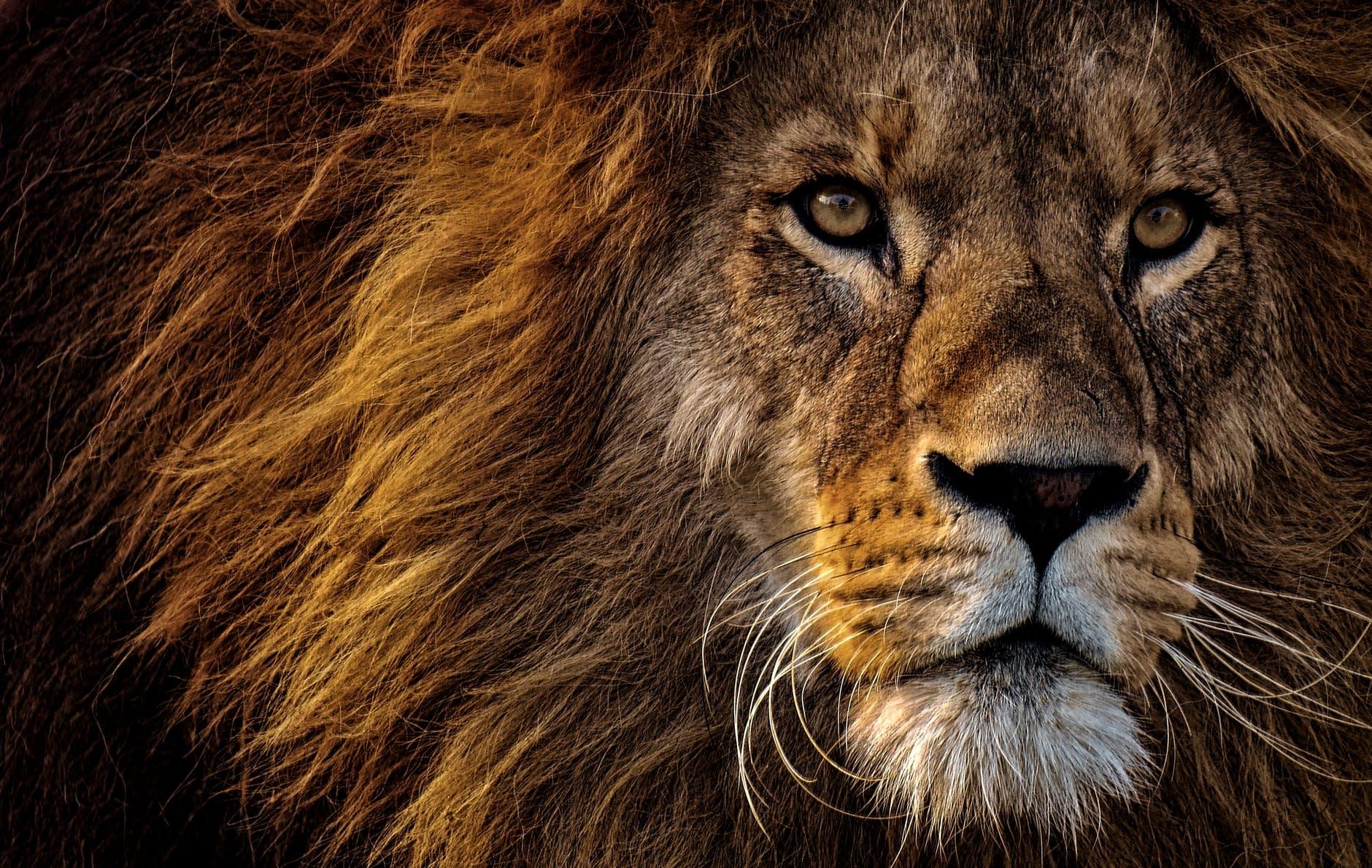 Напавший на девочку лев содержался на базе отдыха в Успенском районе незаконно