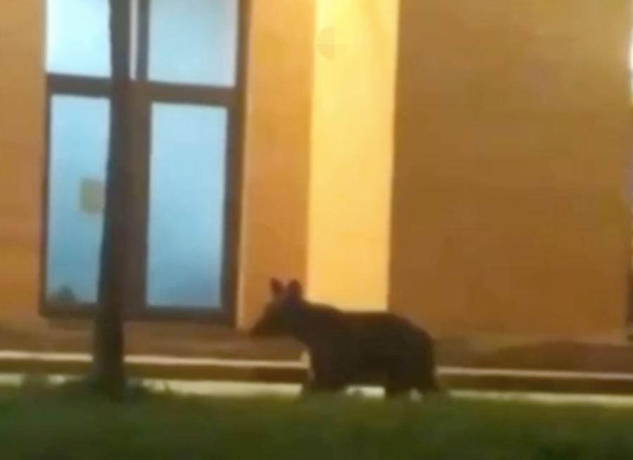 В Сочи потерявшегося медвежонка сбила машина